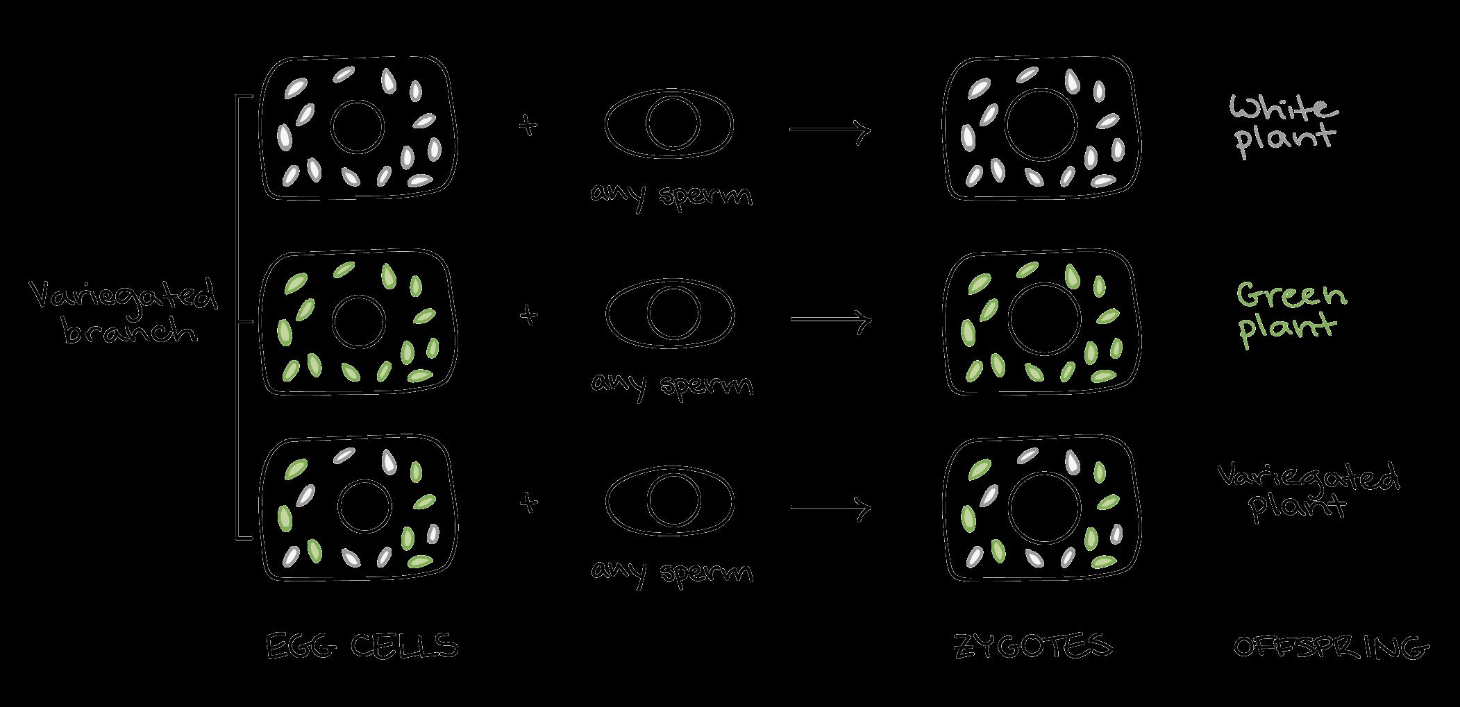 Aneuploidy & chromosomal rearrangements article