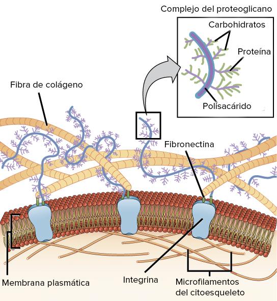 La matriz extracelular y la pared celular (artículo) | Khan Academy