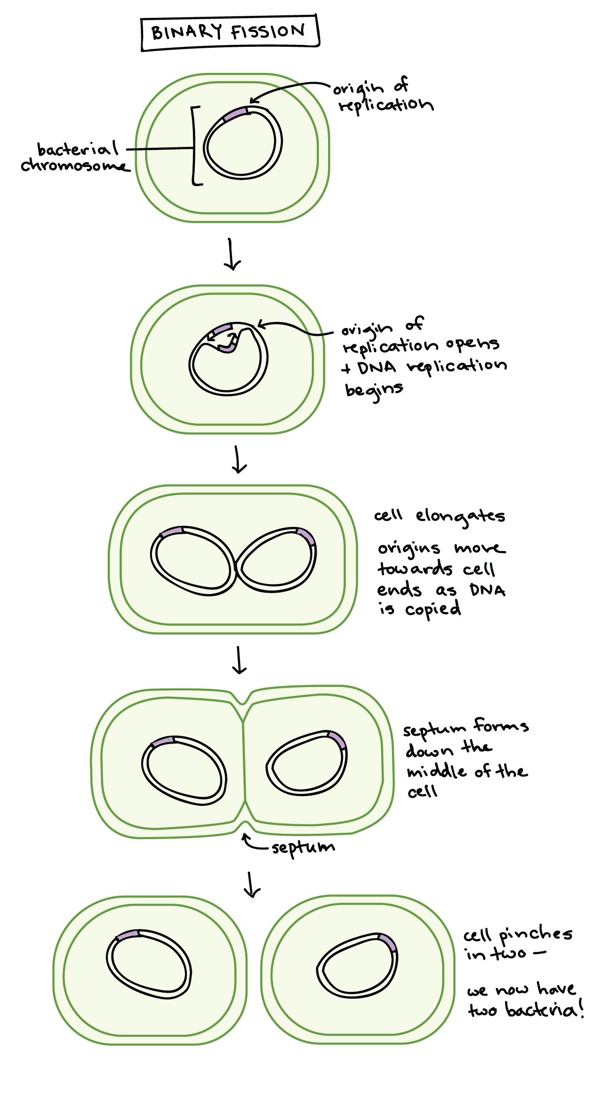 Asexual reproduction bacteria cell model