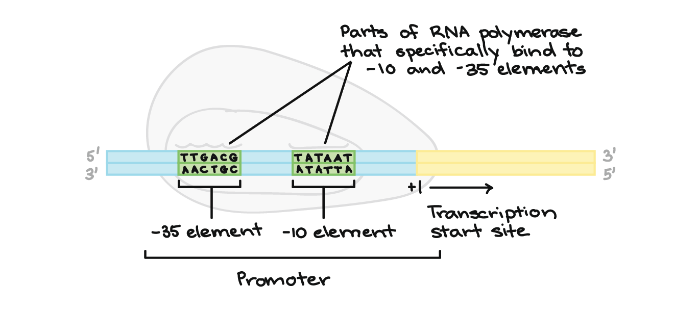 Stages of transcription article khan academy the promoter lies at the start of the transcribed region encompassing the dna before it and slightly overlapping with the transcriptional start site ccuart