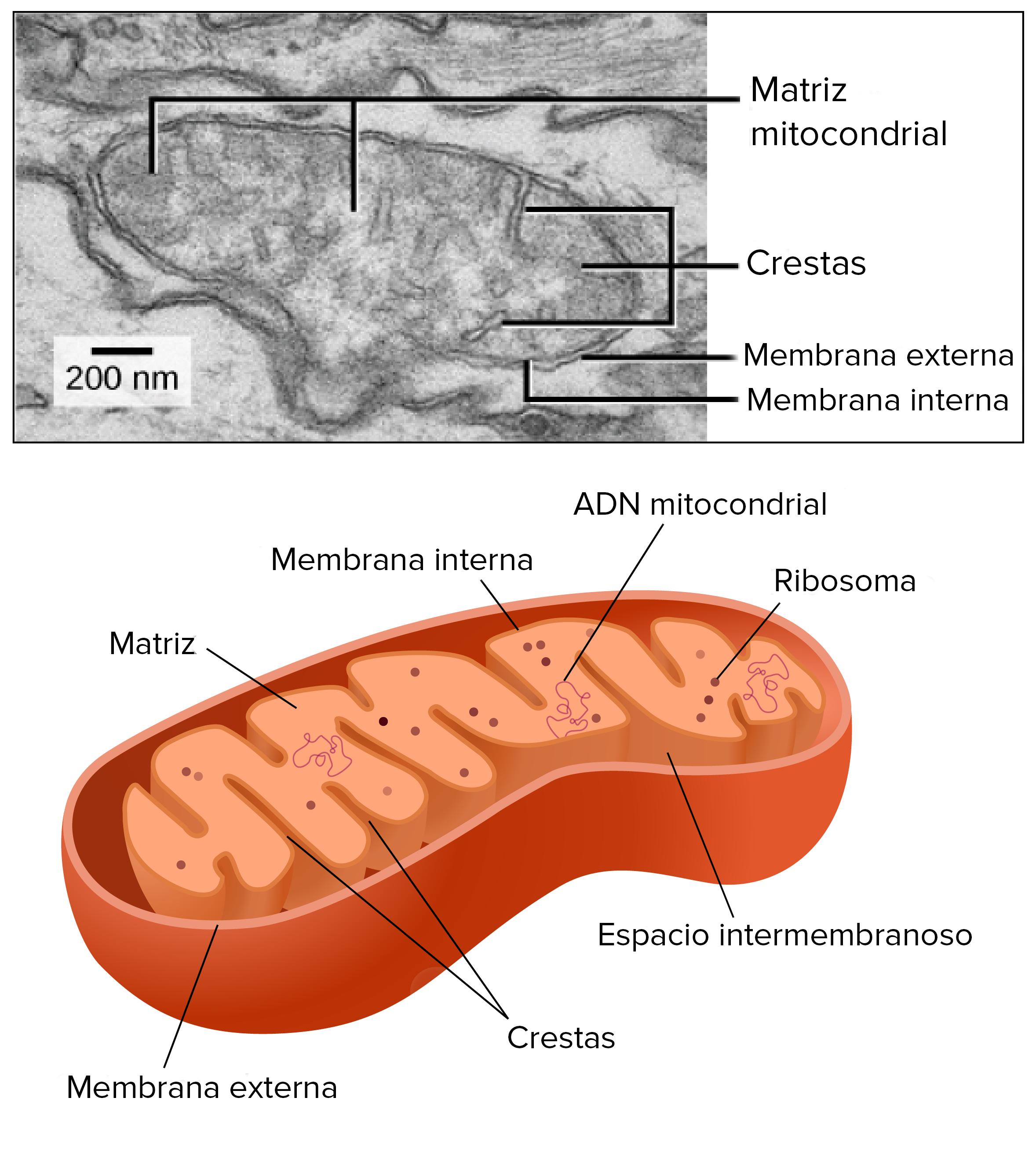 Las mitocondrias y los cloroplastos (artículo) | Khan Academy