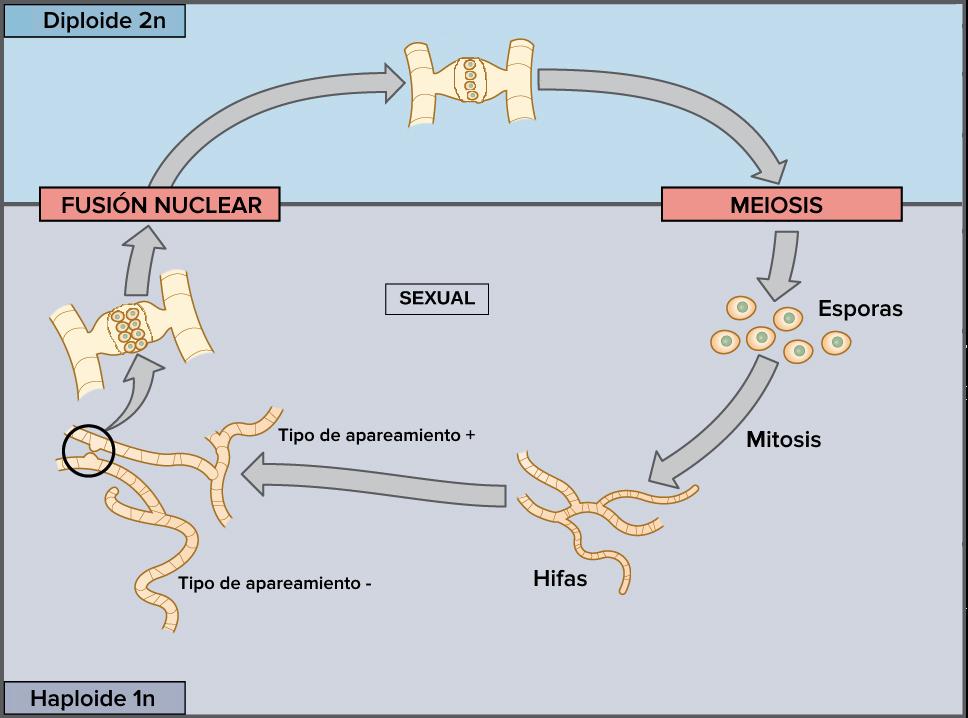 Meiosis | Cell division | Biology (artículo) | Khan Academy