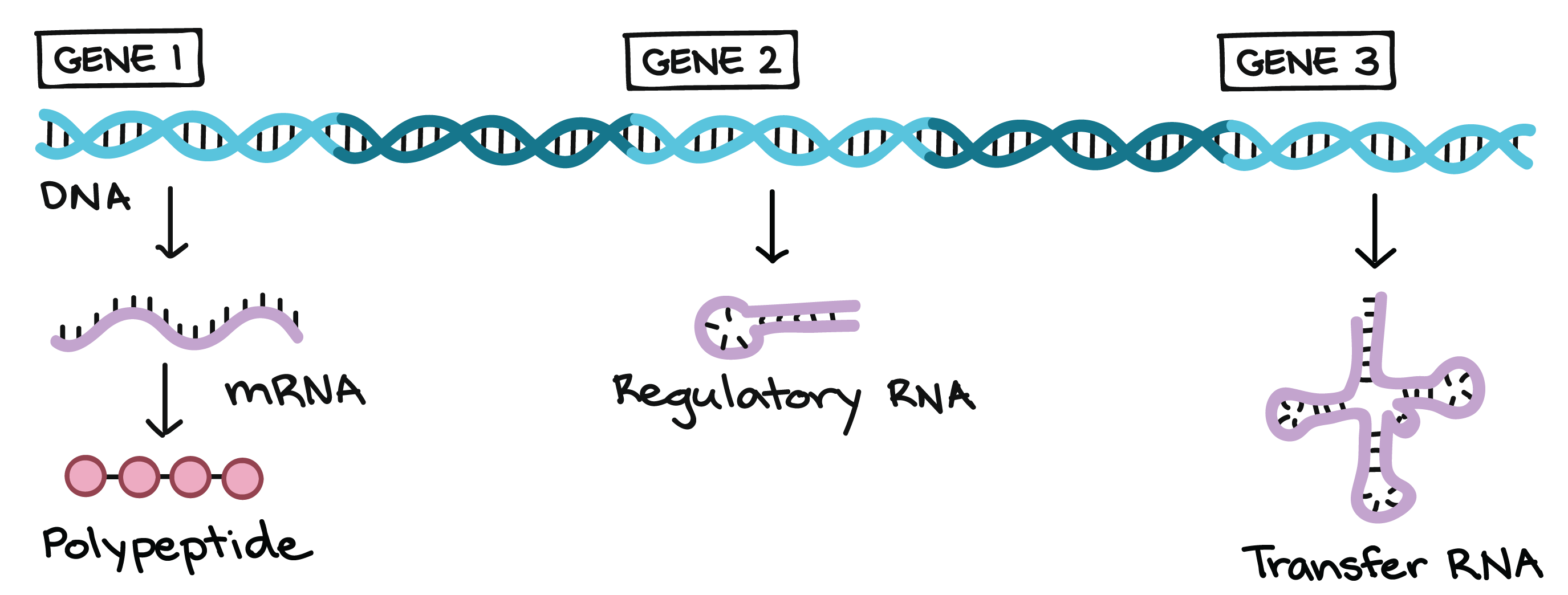 worksheet Dna And Genes Worksheet Answers the genetic code article khan academy