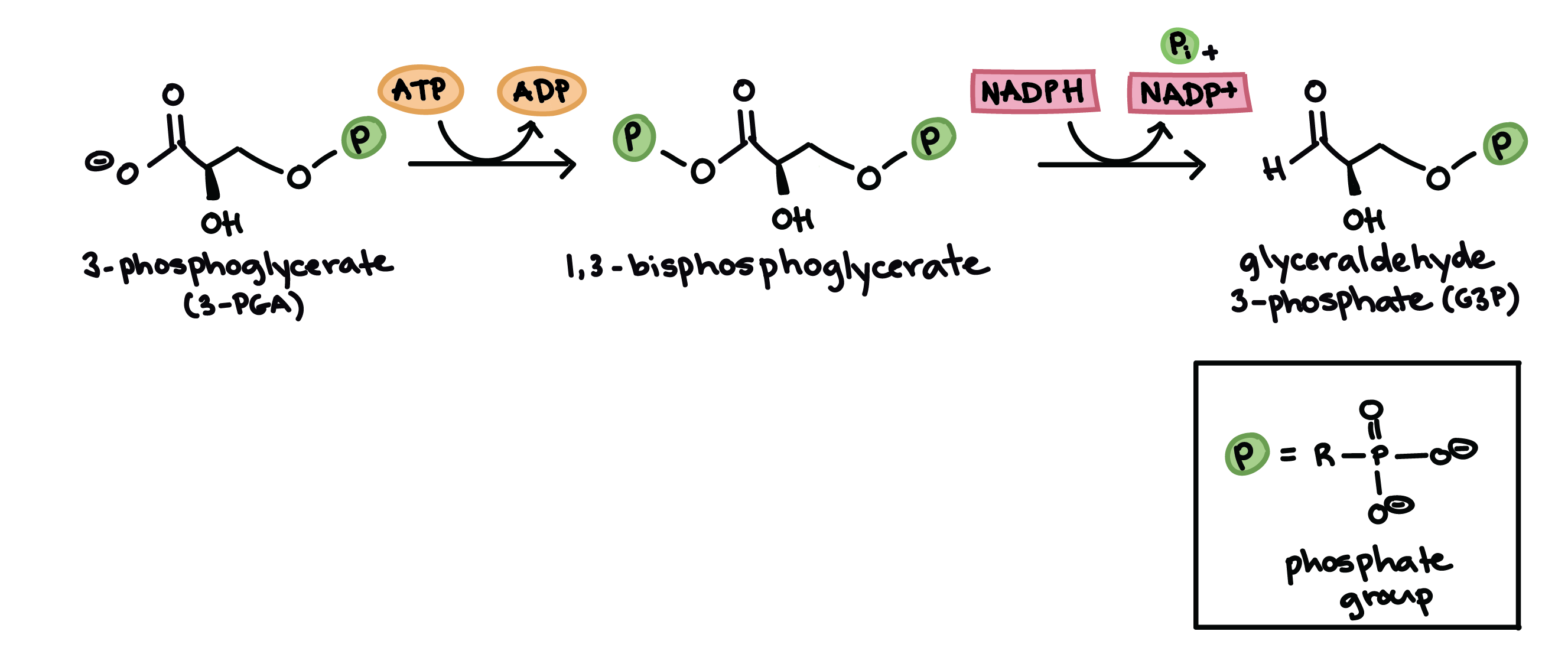 the calvin cycle (article) | photosynthesis | khan academy