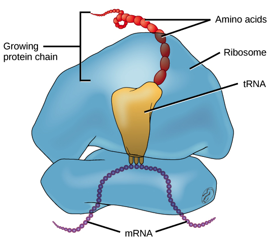 Trnas And Ribosomes Article Translation Khan Academy