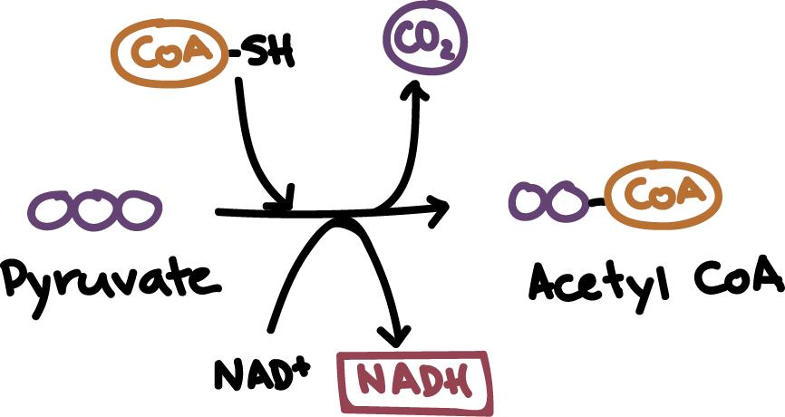 pyruvate oxidation cellular respiration article khan academy