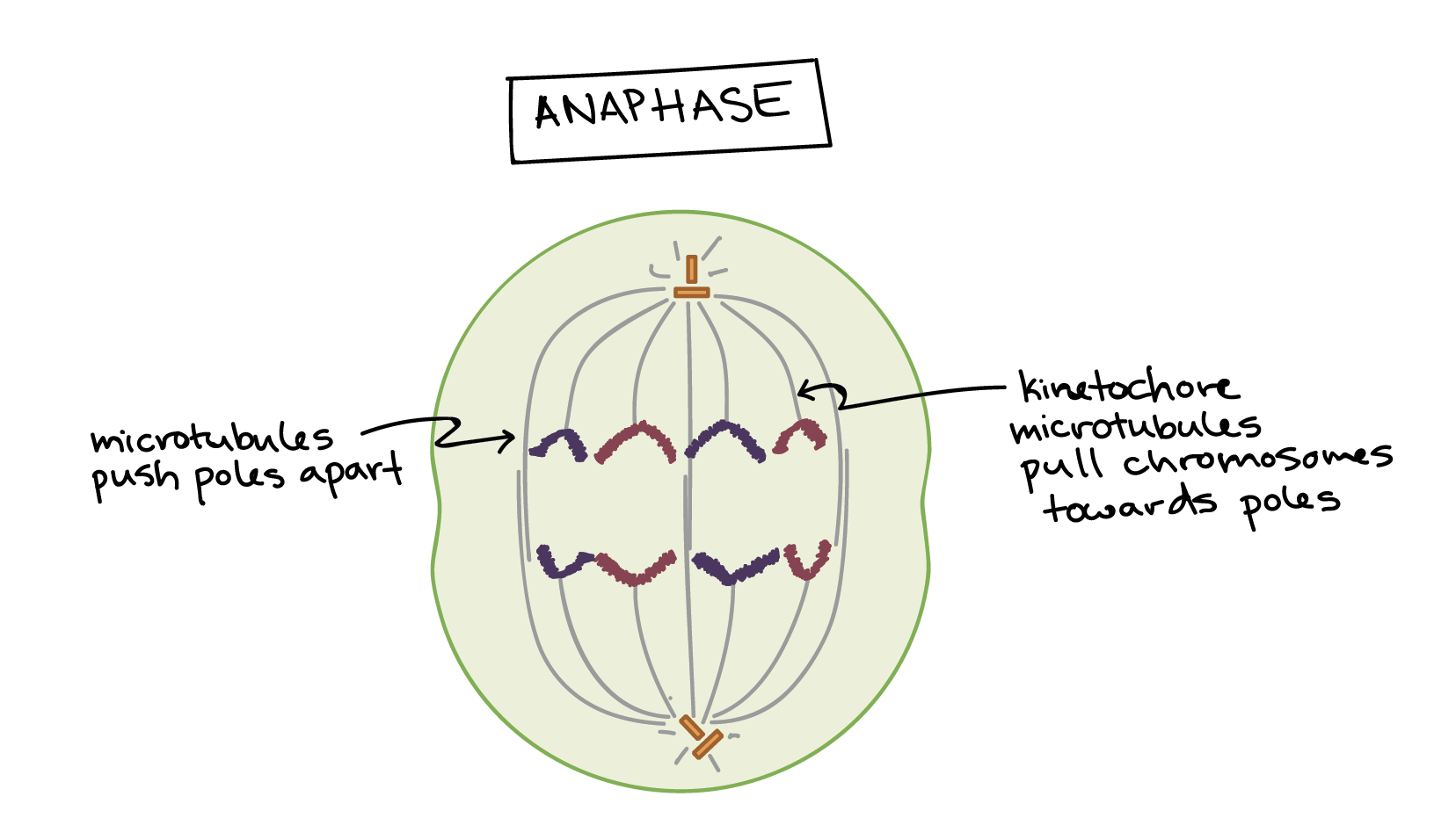 Mitosis Video The Cell Cycle And Khan Academy Prokaryotic Animal Diagram Labeled