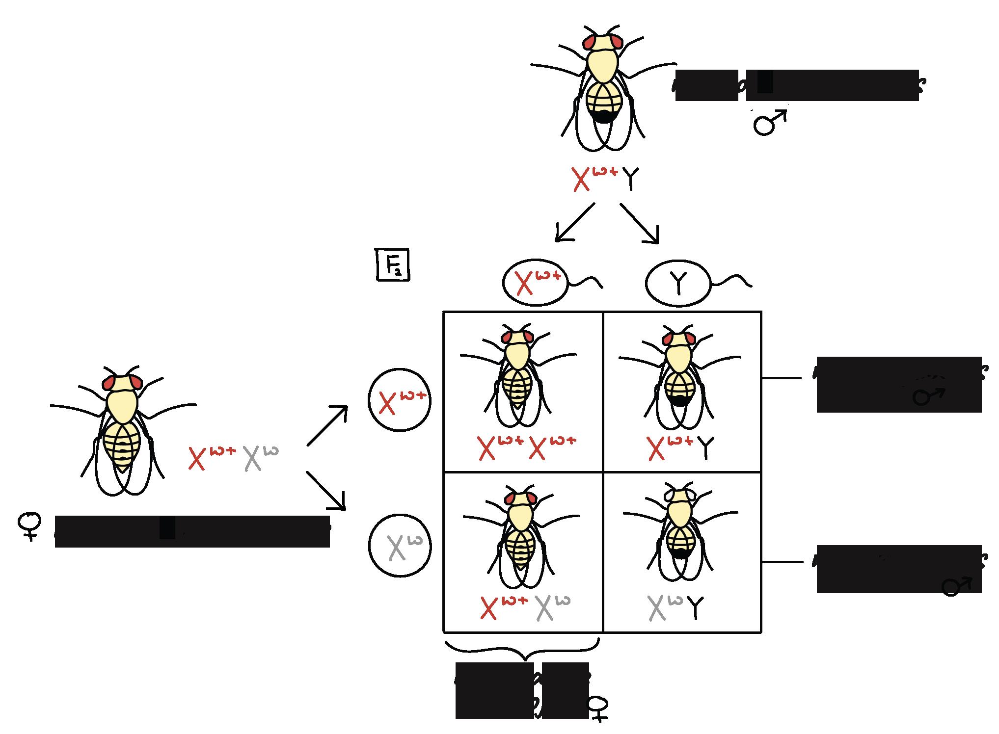 La base cromosómica de la herencia (artículo)   Khan Academy