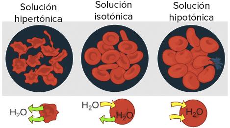 Resultado de imagen para celula humana en una solucion hipotonica