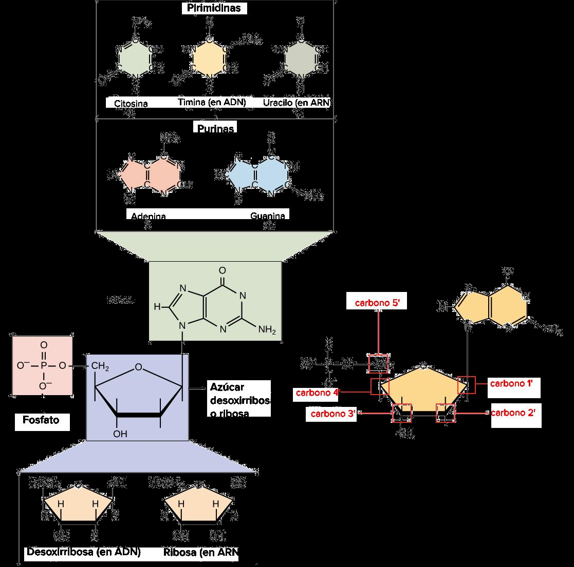 Resultado de imagen de Esta codificación es una serie de combinaciones de cuatro moléculas llamadas bases de los nucleótidos