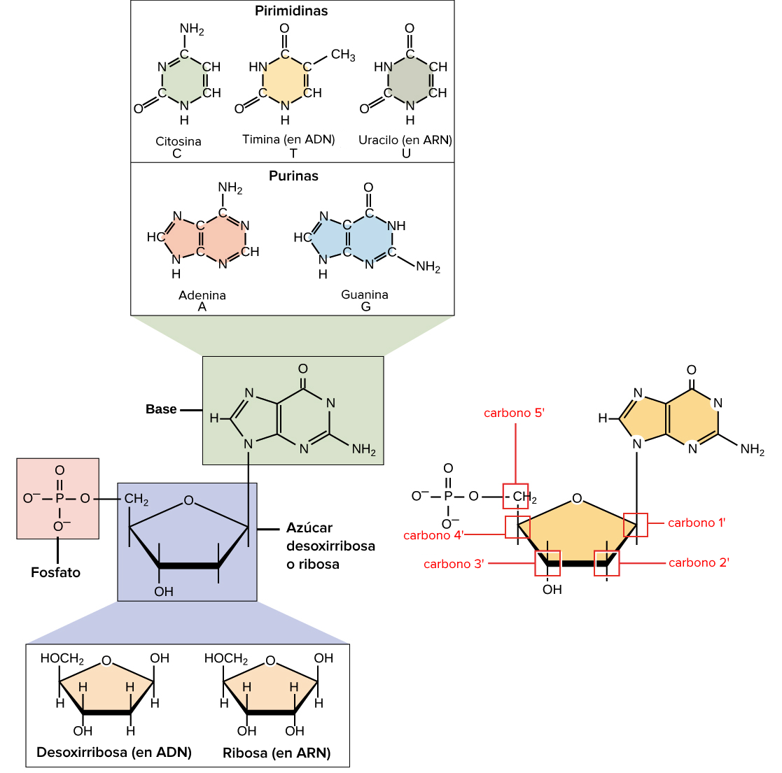 Nucleic Acid Macromolecule Diagram Data Wiring Diagrams Mizuho Taco Slot Blog P U00e1gina 4 F U00cdsica Y Biolog U00cda Lipid Acids Of