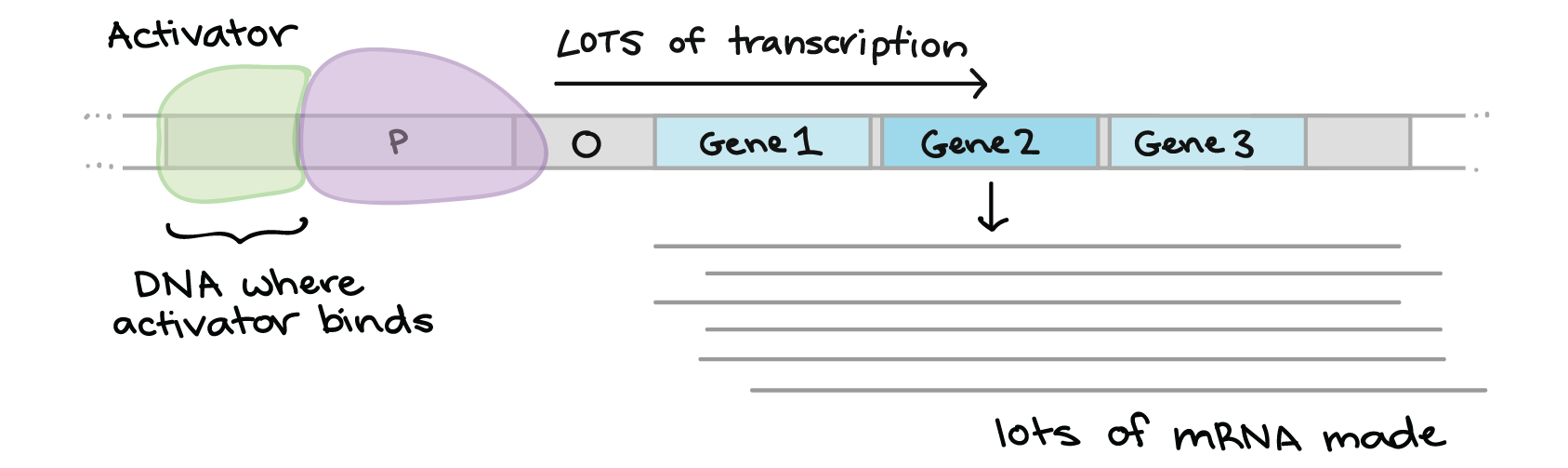 Overview: Gene regulation in bacteria (article) | Khan Academy