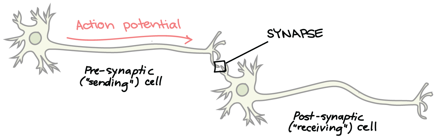 The synapse article human biology khan academy schematic of synaptic transmission an action potential travels down the axon of the pre synapticsendingcell and arrives at the axon terminal ccuart Image collections