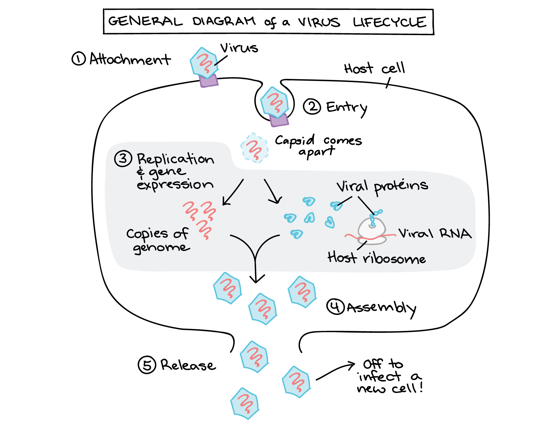 Viral Replication Lytic Vs Lysogenic Video Khan Academy Cell Model Diagram