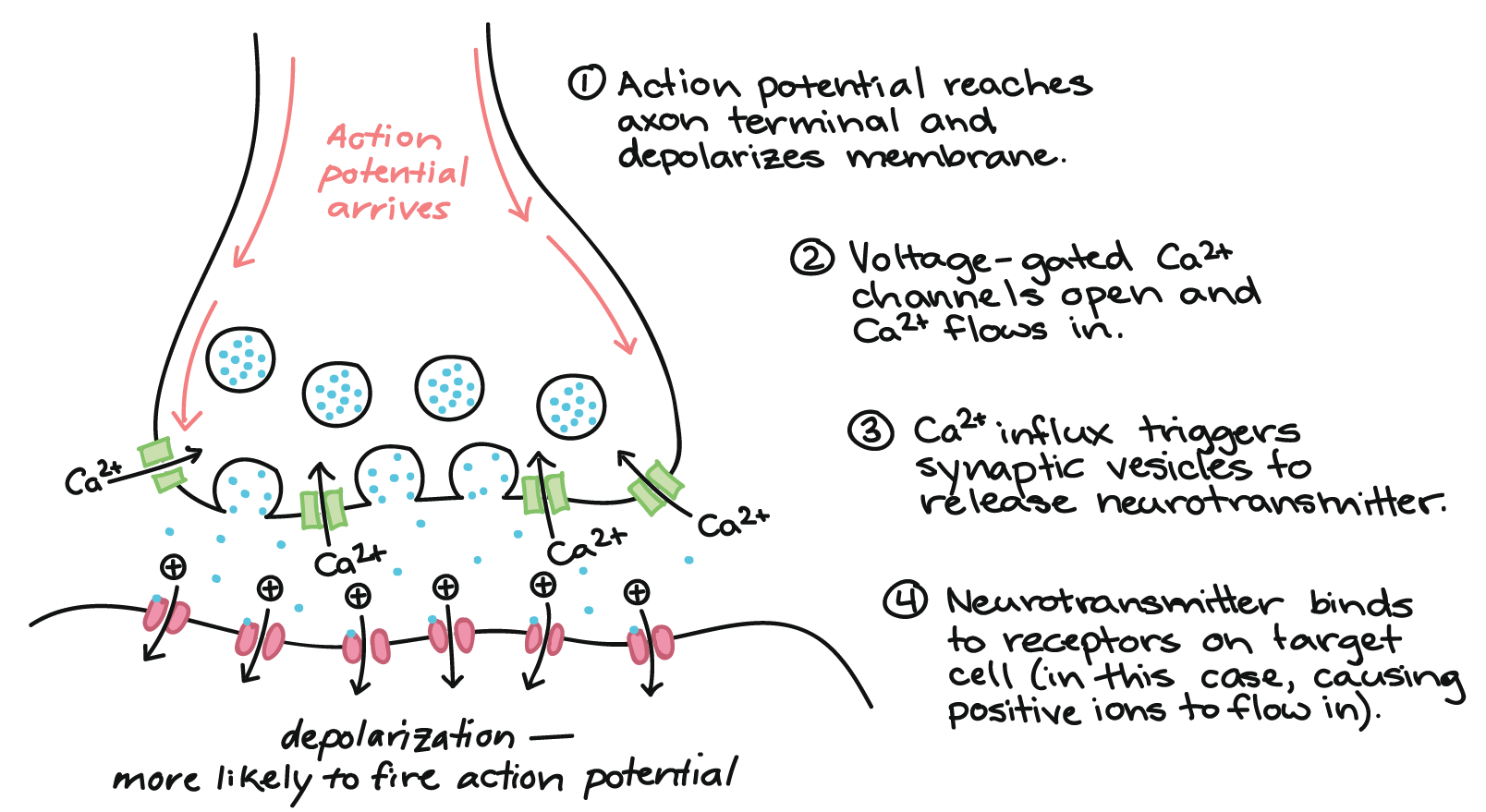 neurotransmitters and receptors (article) | khan academy