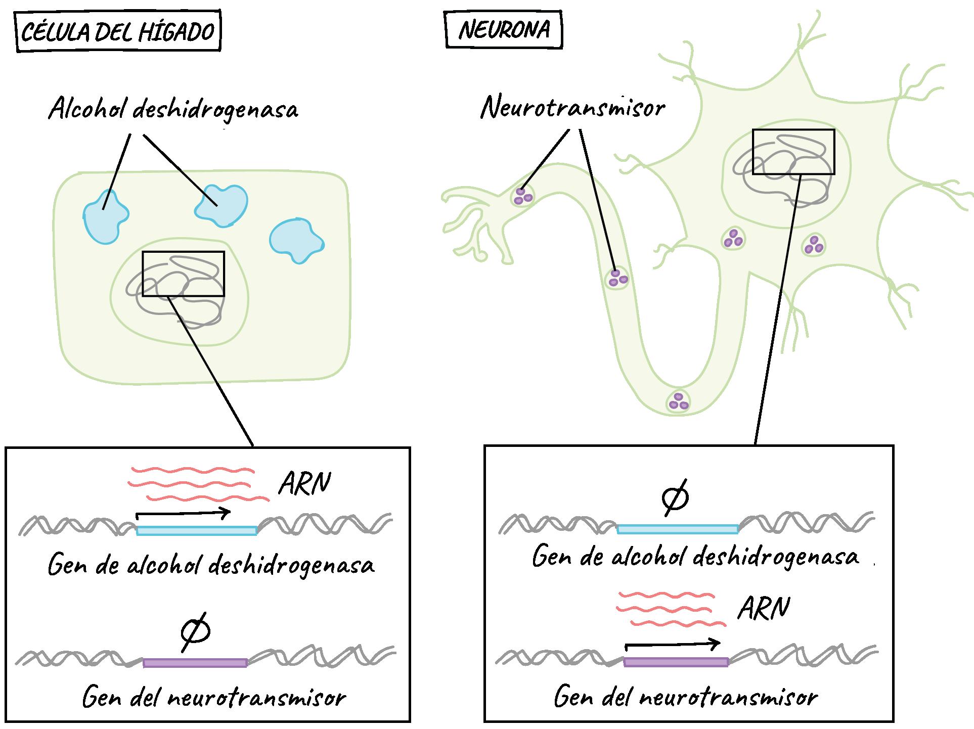 Regulación génica | Biología | Ciencia | Khan Academy