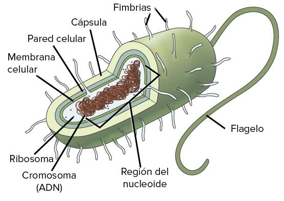 Resultado de imagen de célula procariota