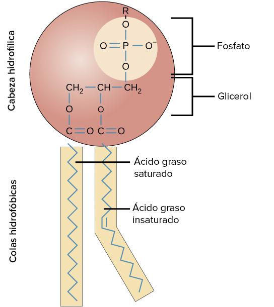 Estructura de la membrana plasmtica artculo  Khan Academy