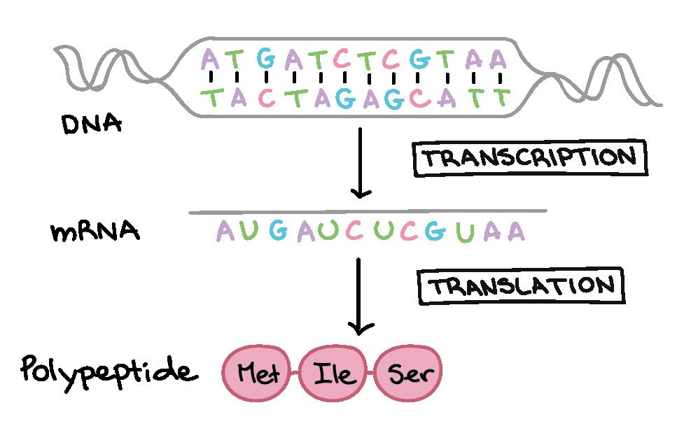 The Genetic Code Article Khan Academy