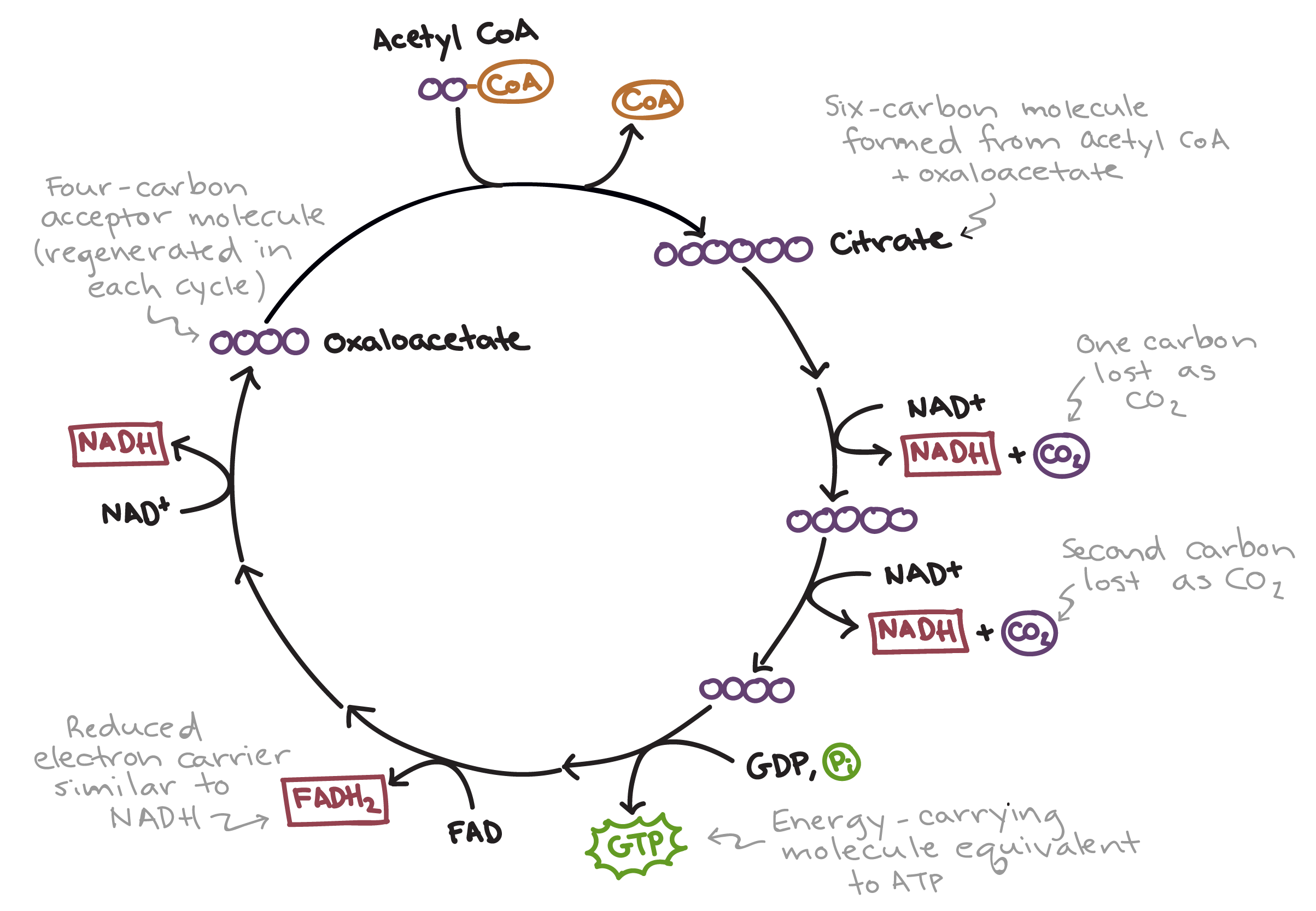 The Citric Acid Cycle Cellular Respiration Article Khan Academy To Make Flow Chart Drawing Illustration Water Diagram Simplified Of First Acetyl Coa Combines With Oxaloacetate