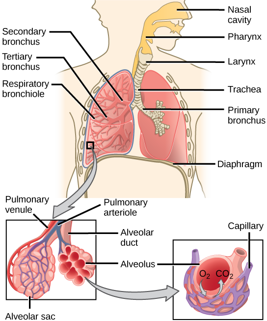 The Respiratory System Review Article Khan Academy