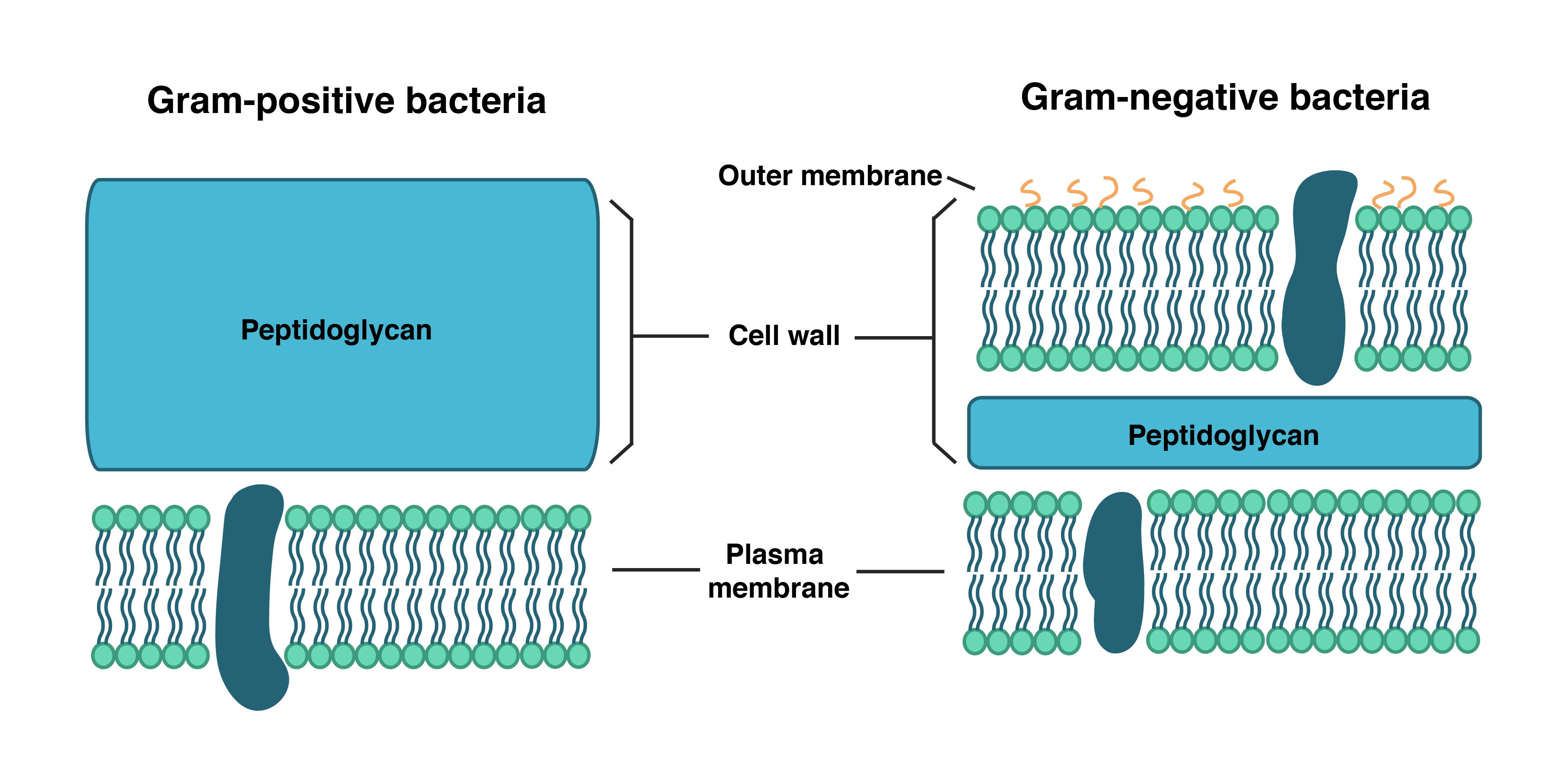 Prokaryote Structure Article Khan Academy Cell Model With Labels Animal Unlabeled Diagram Labeled Gram Positive Bacteria Have An Inner Plasma Membrane And A Thick Wall Composed Of
