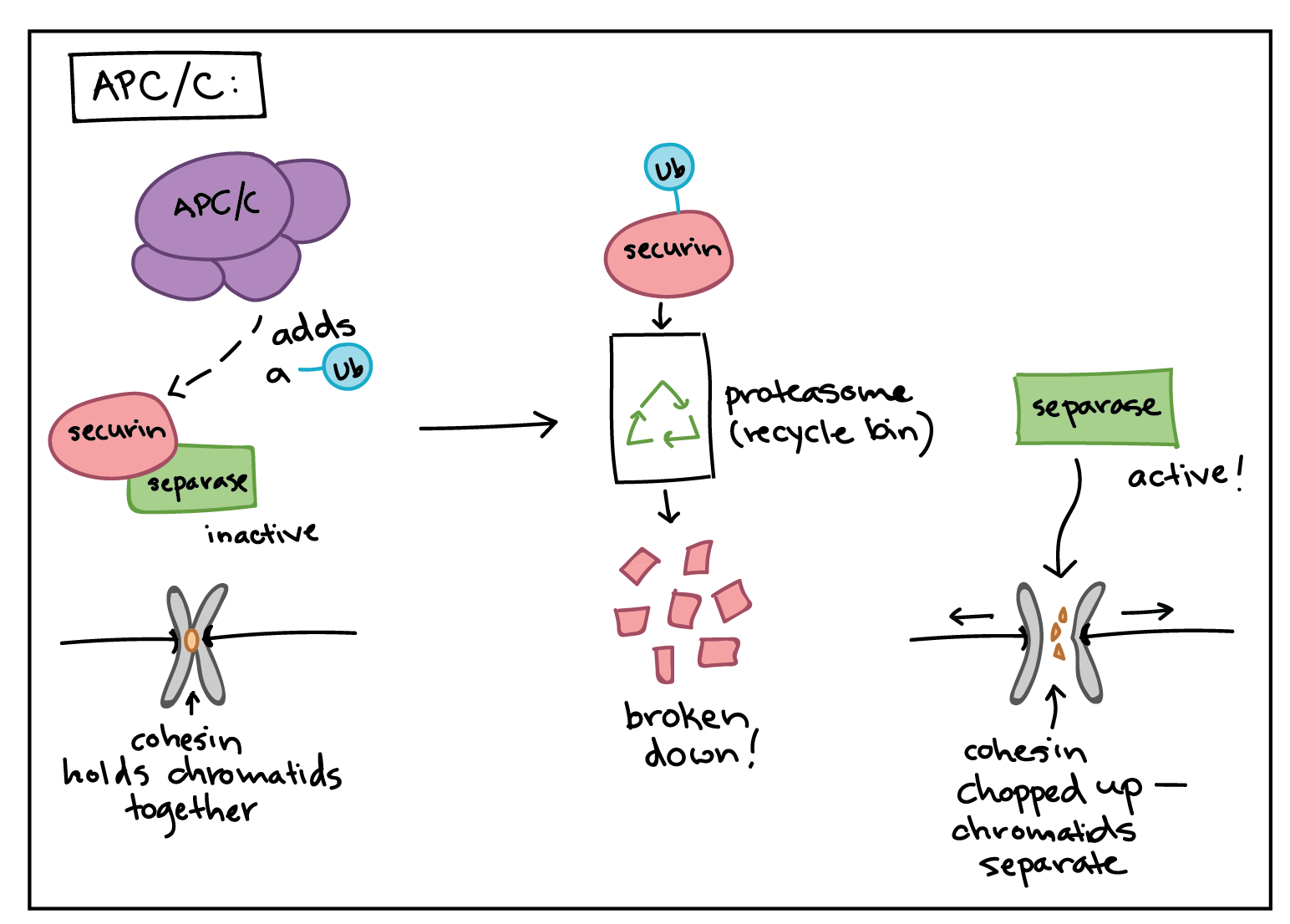 an analysis of the mitosis in cancerous cells Cell division is the process by which a parent cell divides into two or more daughter cells research paper adhd acetylation the addition of an acetyl group (-coch 3.