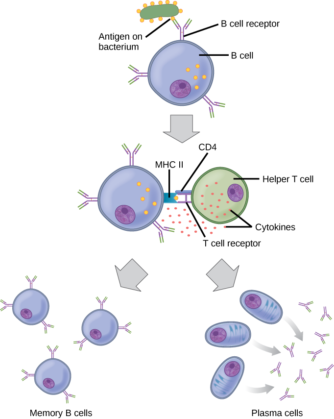 Types Of Immune Responses Innate And Adaptive Humoral Vs Cell