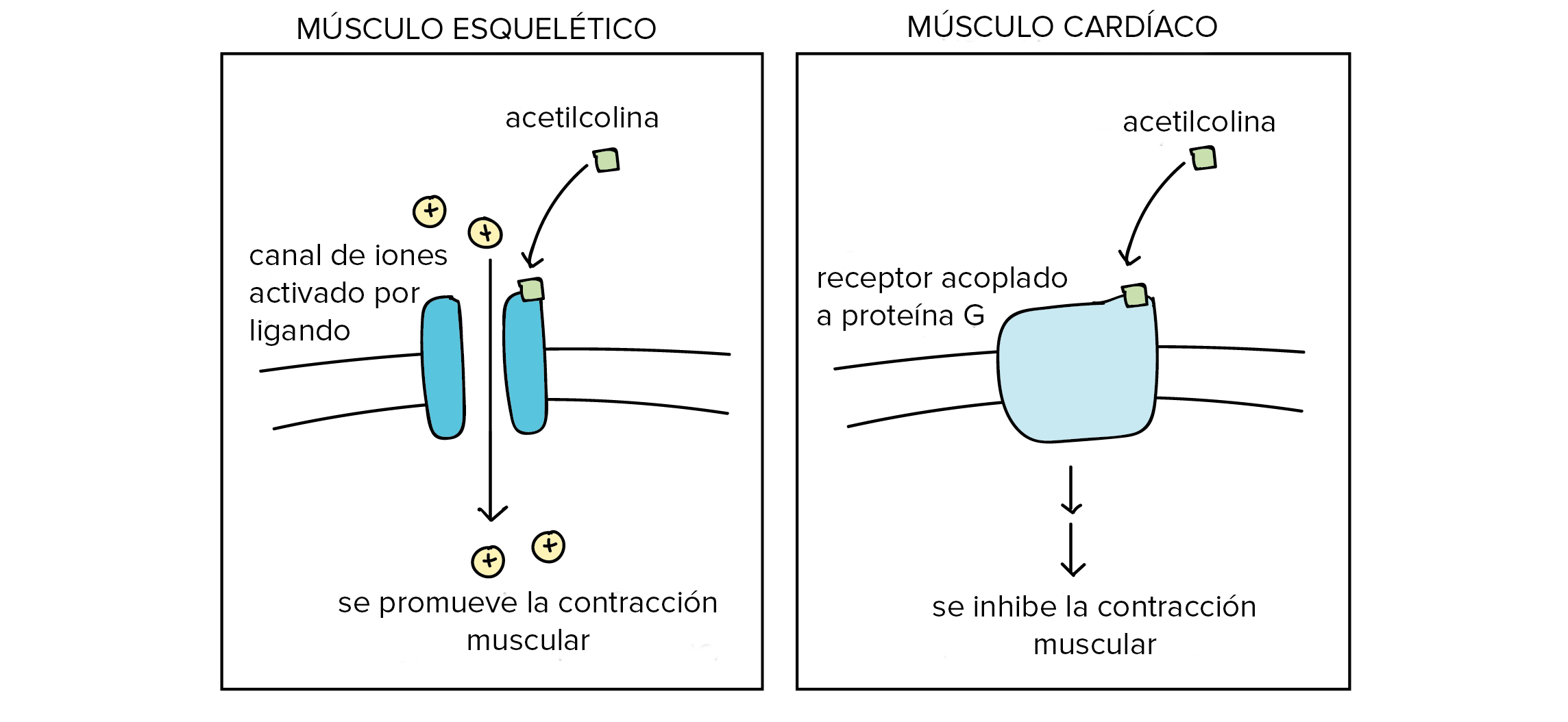 Ligandos y receptores (artículo) | Khan Academy