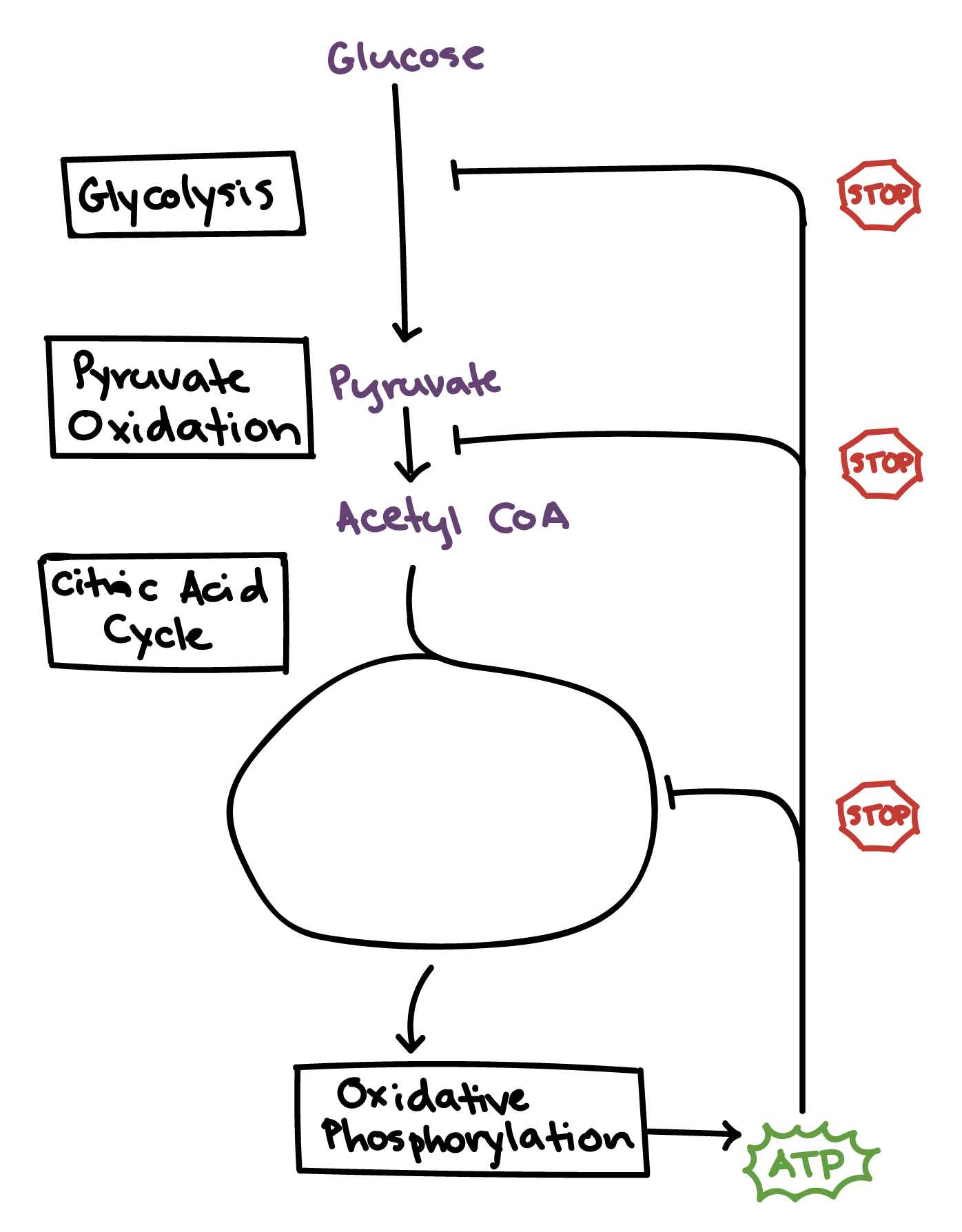 Fermentation and anaerobic respiration cellular respiration fermentation and anaerobic respiration cellular respiration article khan academy ccuart Image collections