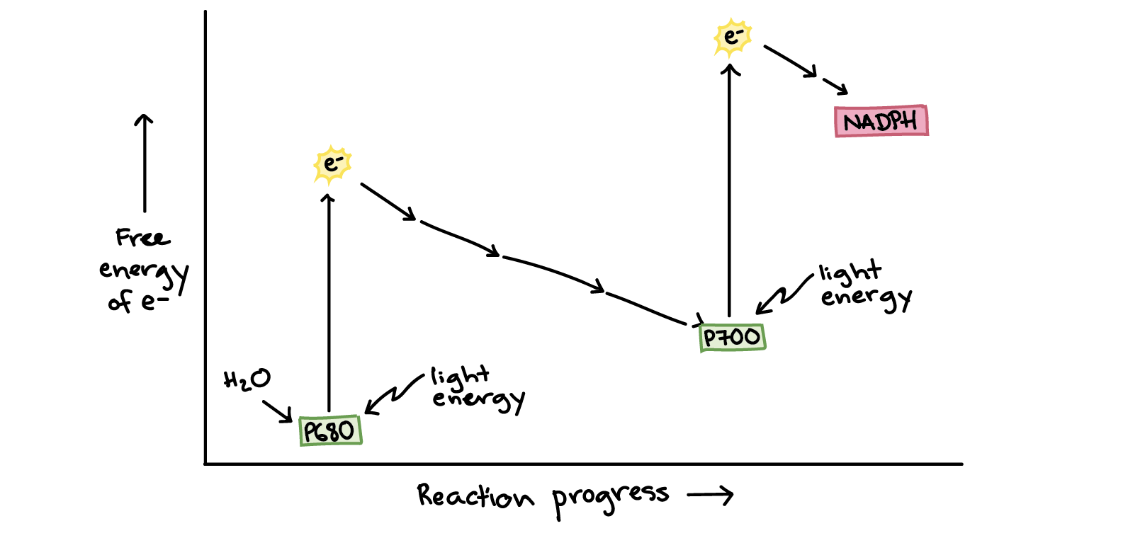 The Light Dependent Reactions Practice Khan Academy