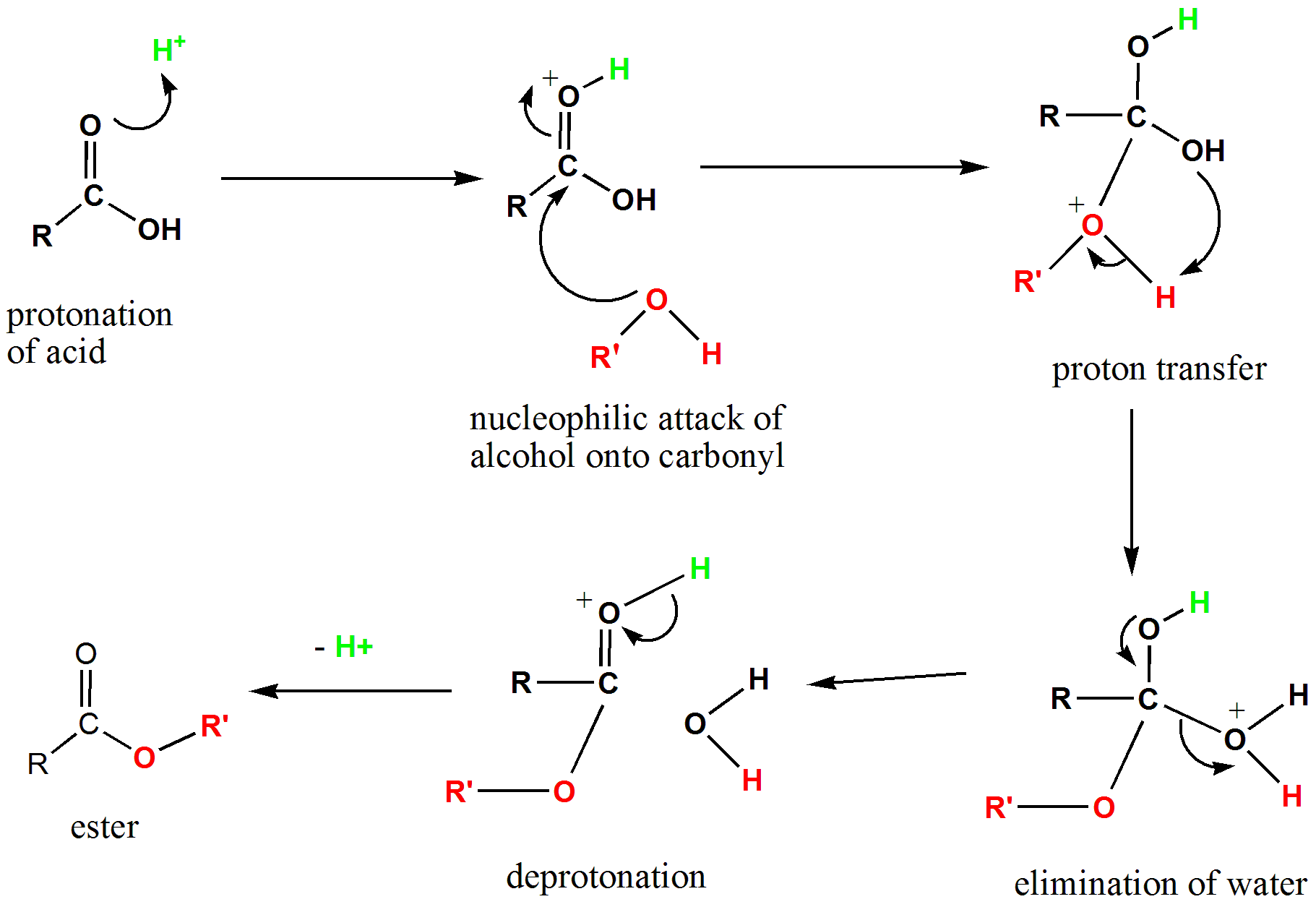 fischer esterification A mechanism for the acid catalysed reaction to produce esters from organic acids and alcohols.