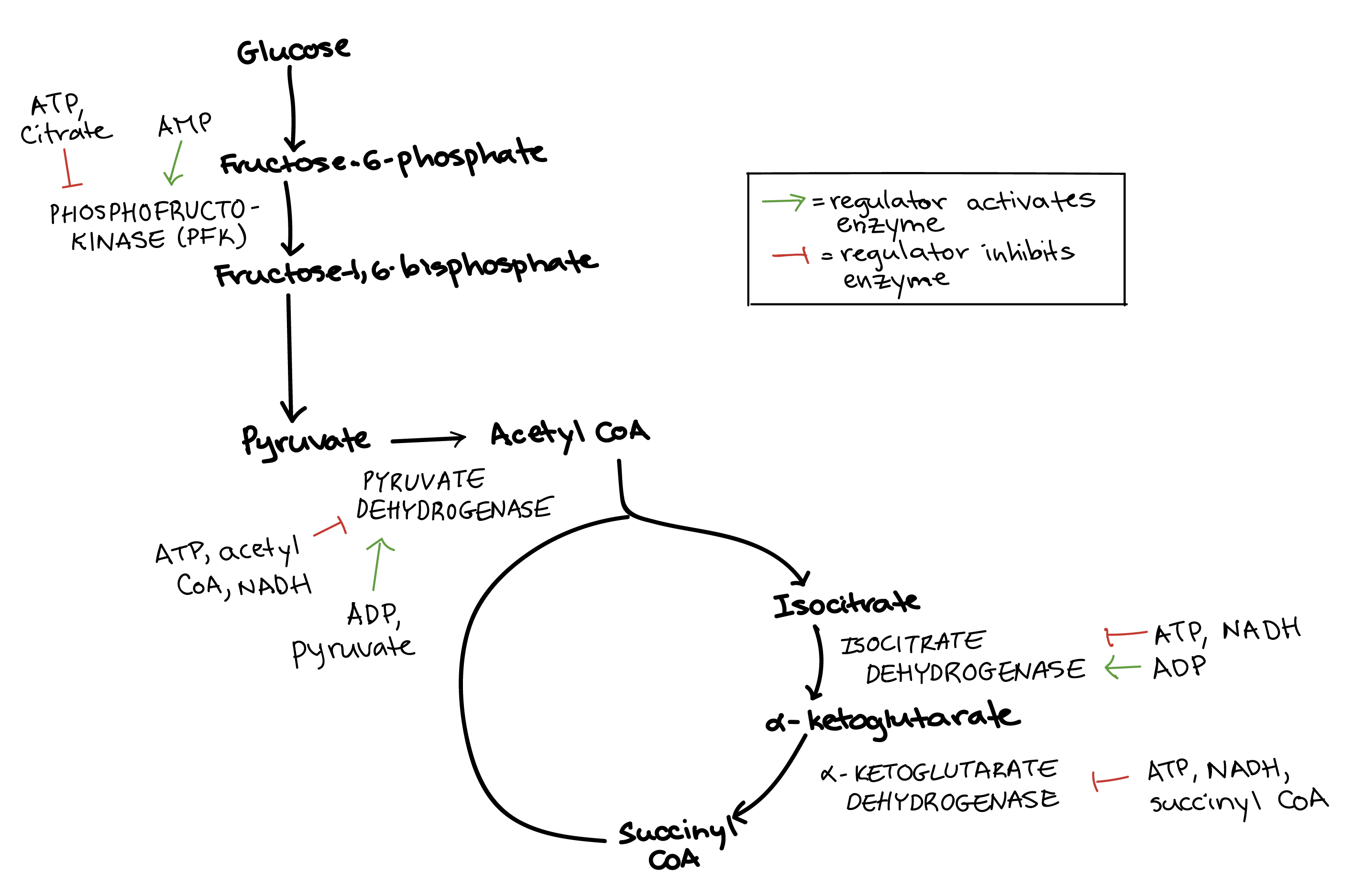 Regulation of cellular respiration article khan academy diagram summarizing the regulation of cellular respiration during glycolysis pyruvate oxidation and the citric acid cycle this diagram simply combines ccuart Choice Image