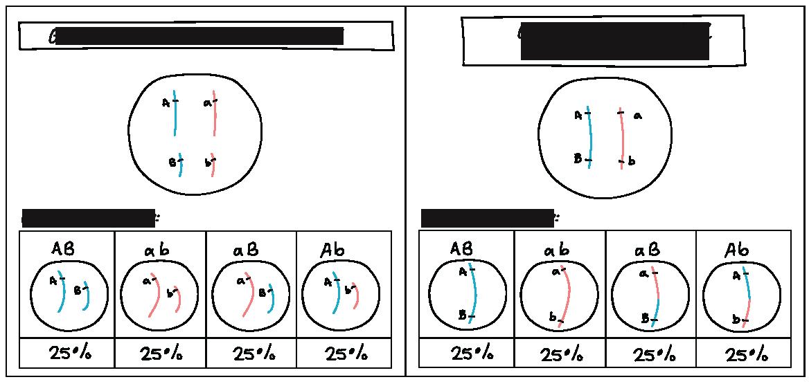 Ligamiento genético y mapeo (artículo) | Khan Academy