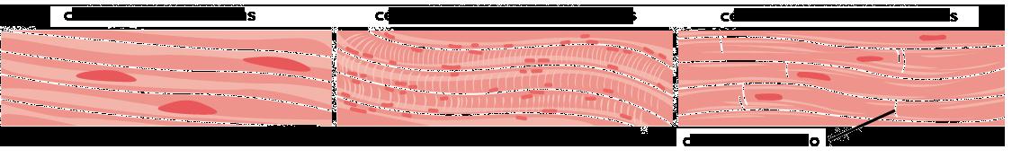 Tejidos, órganos y sistemas de órganos (artículo) | Khan Academy