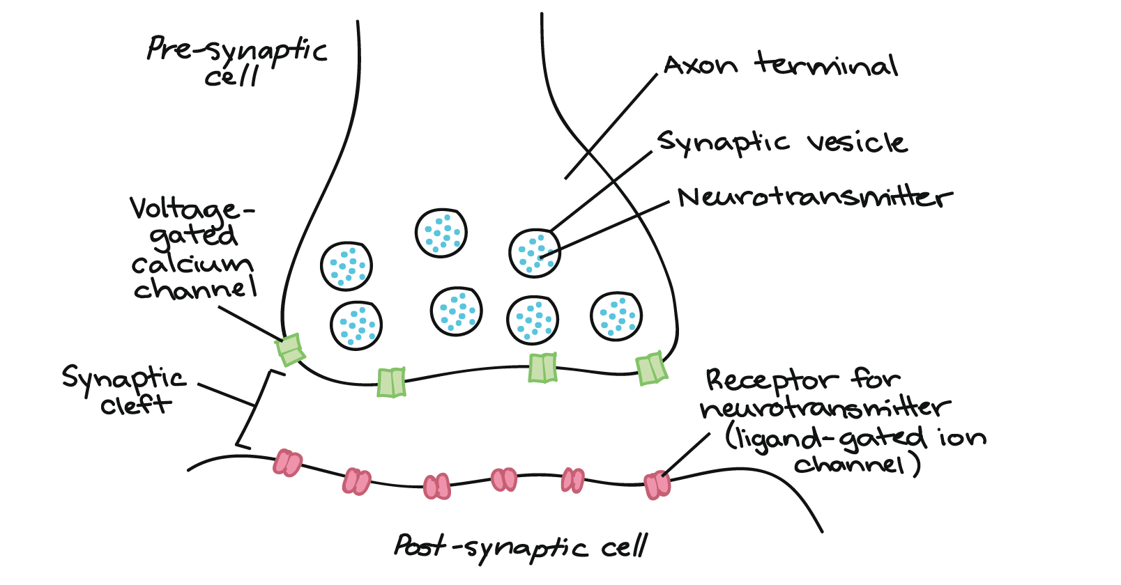 The synapse article human biology khan academy voltage gated calcium channels are on the outside surface of the axon terminal across the synaptic cleft there is the post synaptic cell ccuart Image collections