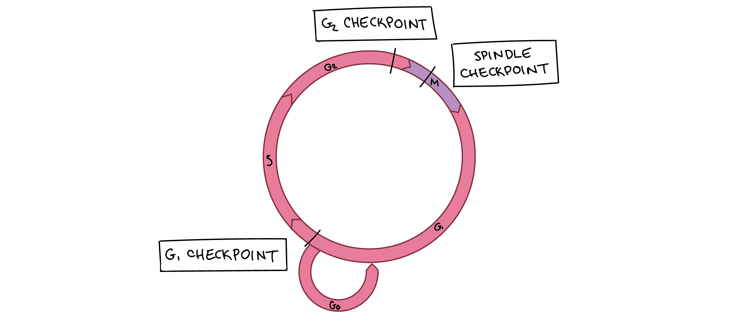 Cell cycle checkpoints (article) | Khan Academy