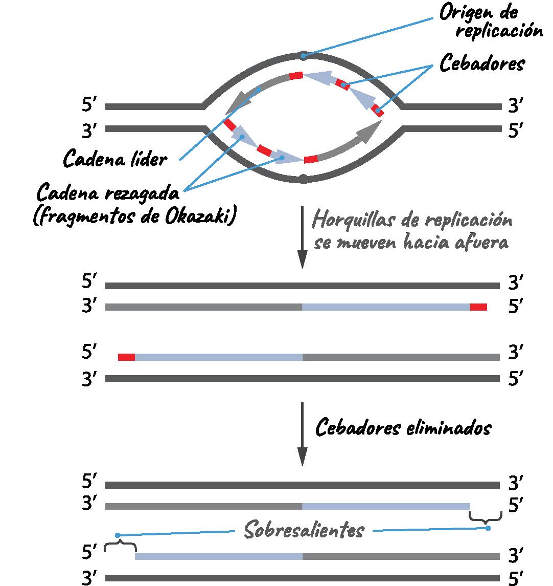 Mecanismos moleculares de la replicación del ADN (artículo)   Khan ...