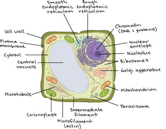 Intro to eukaryotic cells article cells khan academy diagram of a plant cell with components labeled ccuart Images