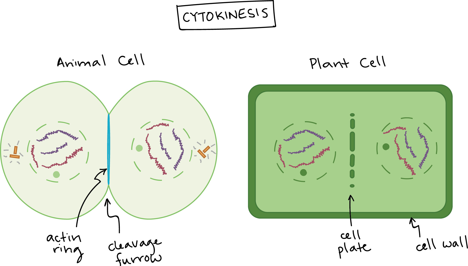 Phases Of Mitosis Biology Article Khan Academy Simple Plant Cell Diagram For Kids 5610jpg Picture On Pinterest