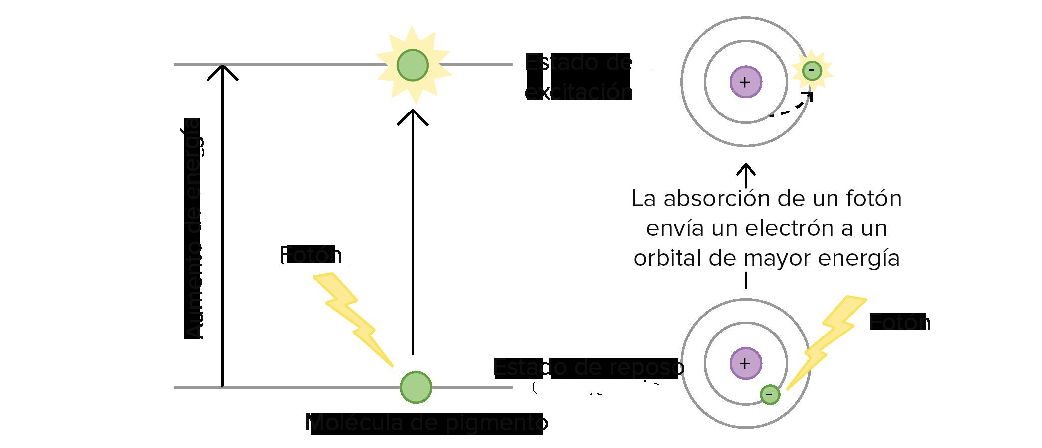 Las reacciones dependientes de la luz (artículo) | Khan Academy