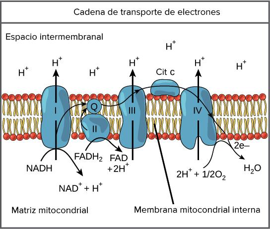 Resultado de imagen de La cadena de transporte de electrones separa los electrones y los protones de cada uno de los diez átomos de hidrógeno