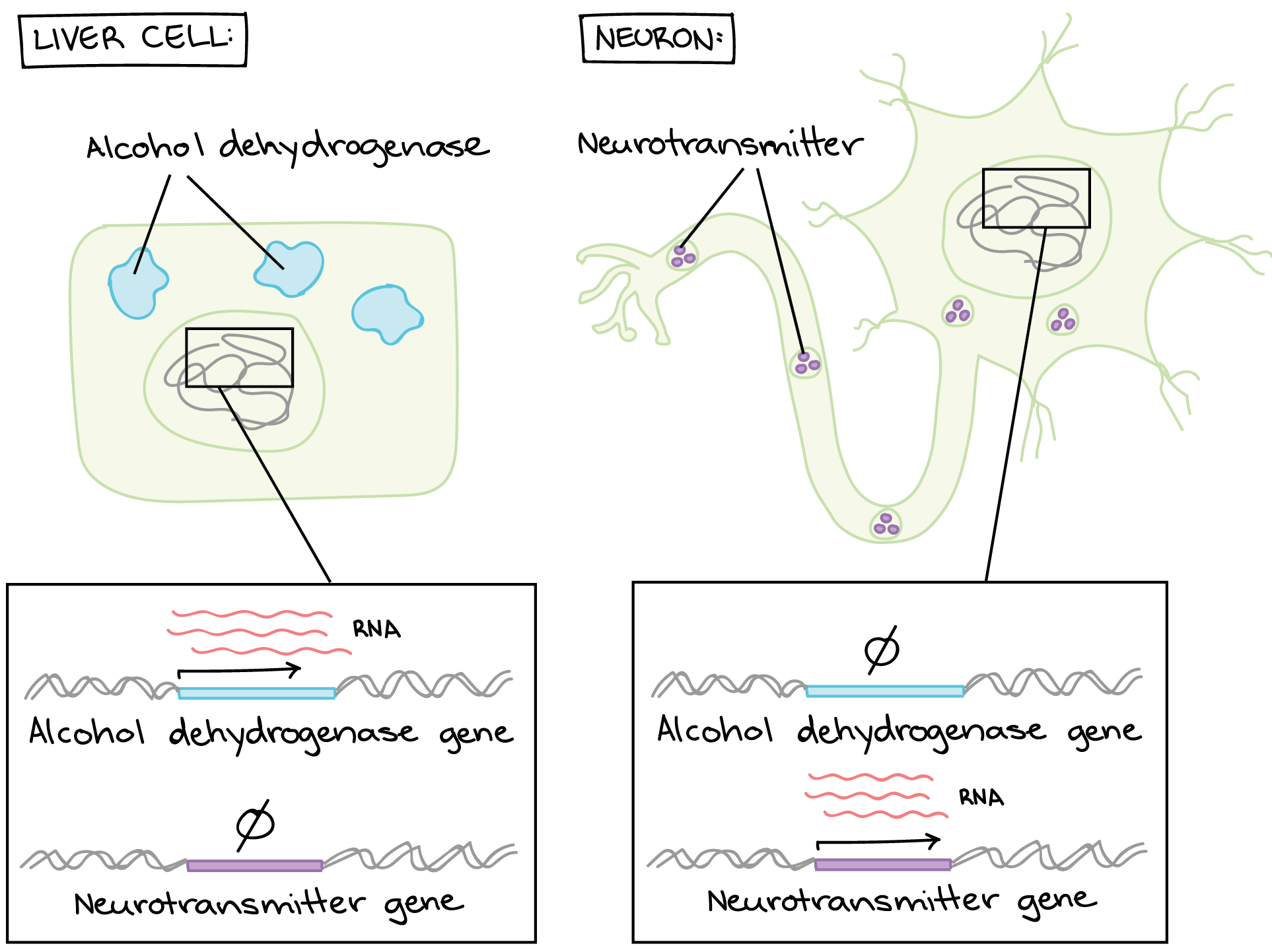Embryonic Stem Cells Video Khan Academy Child Of Looking At Diagrams The Human Body It Was Weird To See