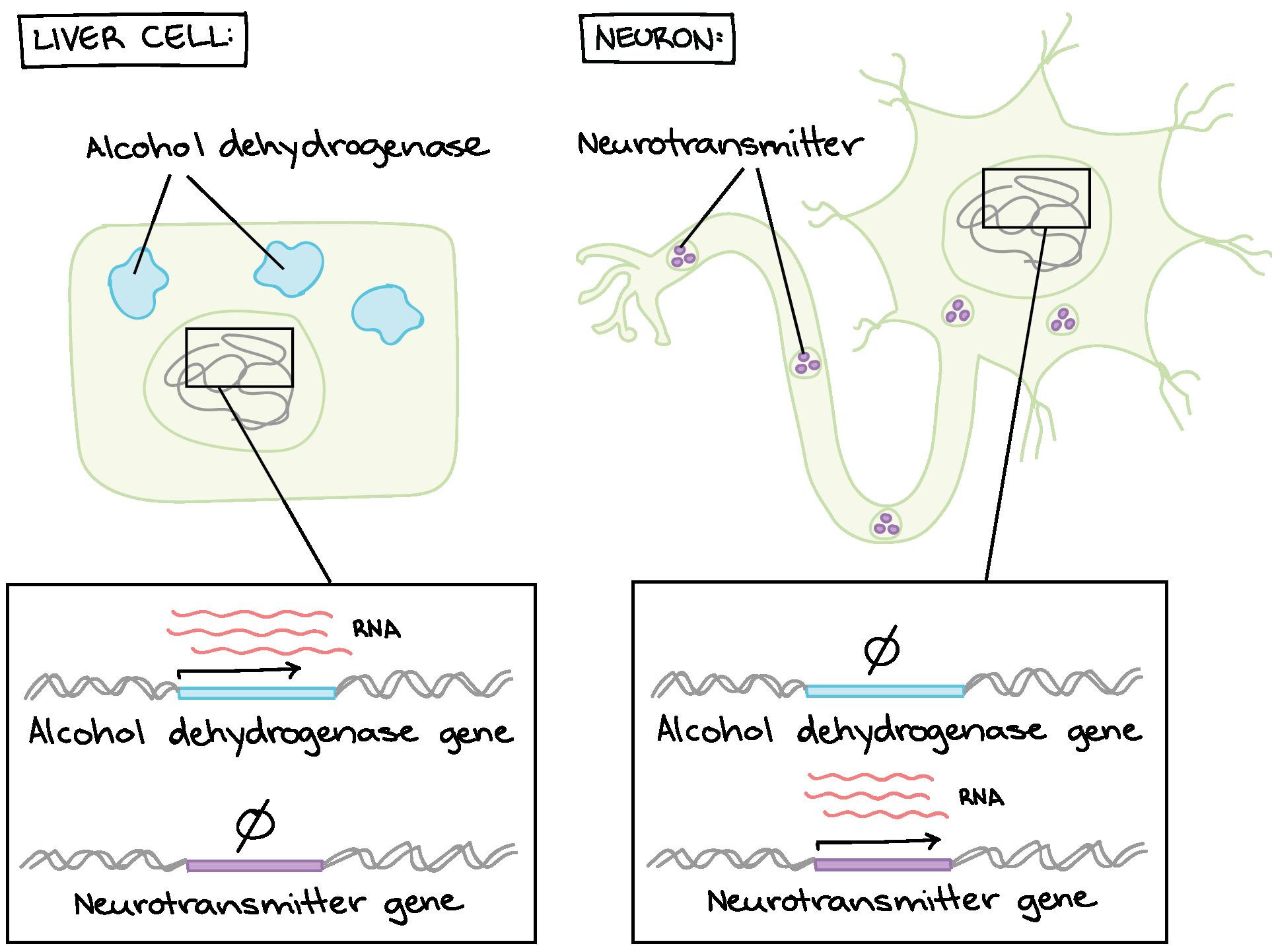 worksheet Gene Expression Worksheet overview eukaryotic gene regulation article khan academy makes cells different