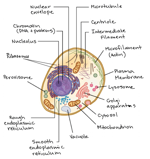 Intro to eukaryotic cells article cells khan academy diagram of an animal cell with components lettered ccuart Images