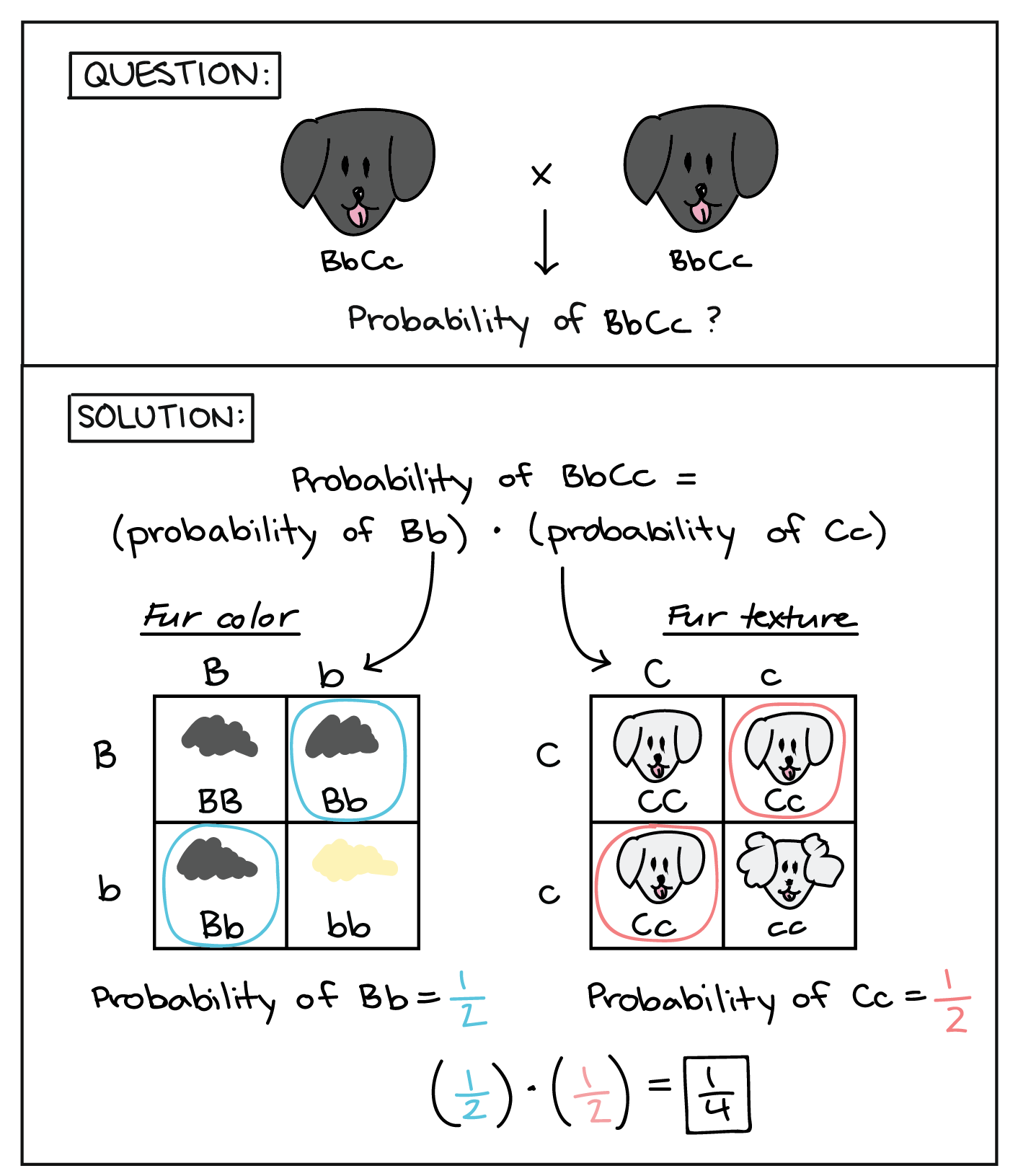 worksheet Genetics And Probability Worksheet probabilities in genetics article khan academy diagram illustrating how 2x2 punnett squares can be used conjunction with the product rule to determine probability of a particular genotype