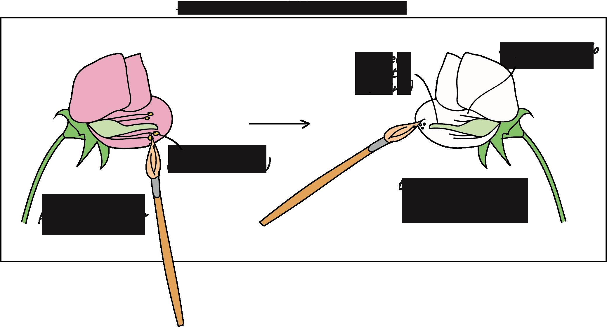Mendel y sus guisantes (artículo) | Khan Academy