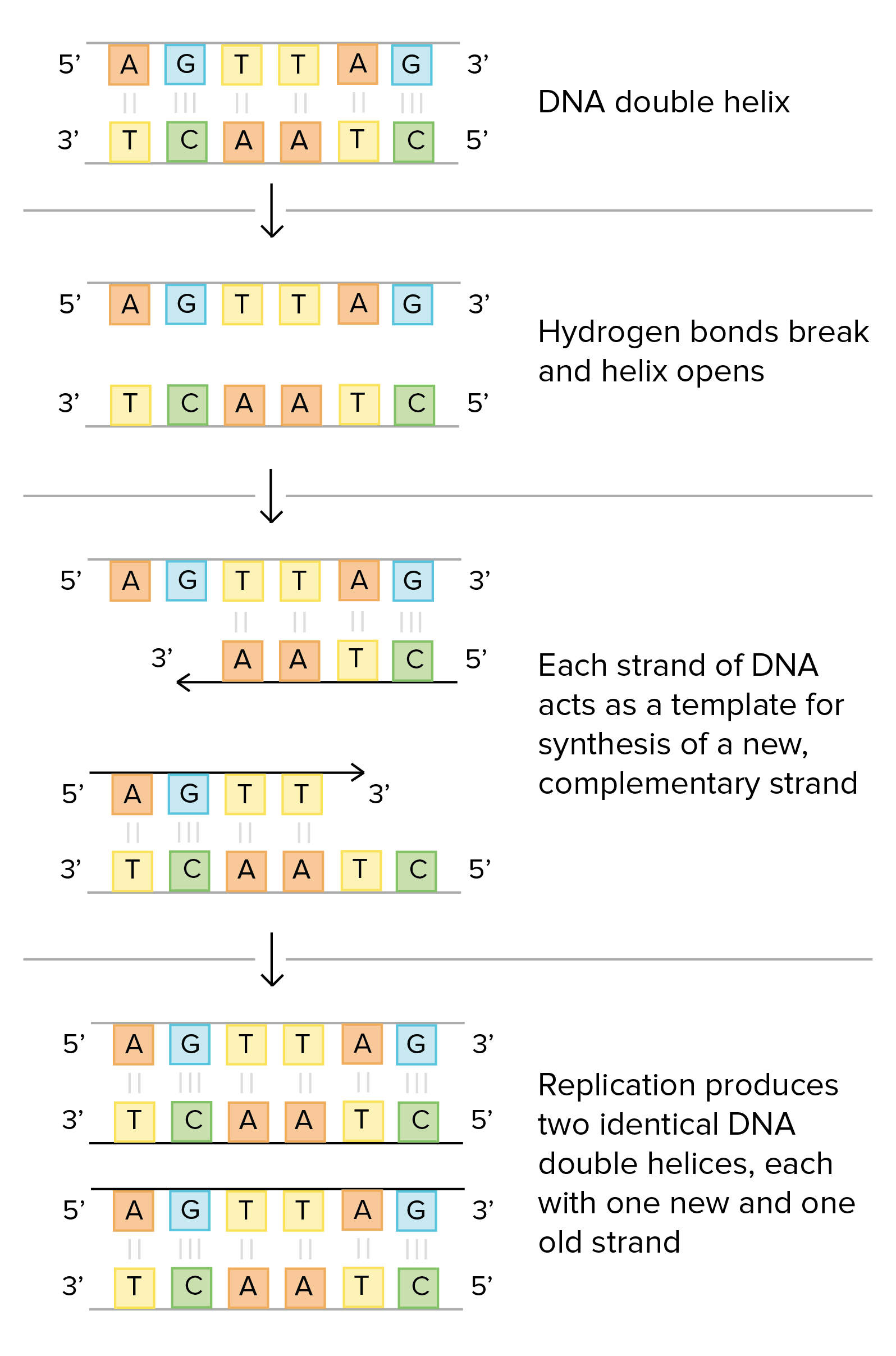 Worksheets Dna The Double Helix Worksheet Answers molecular structure of dna video khan academy