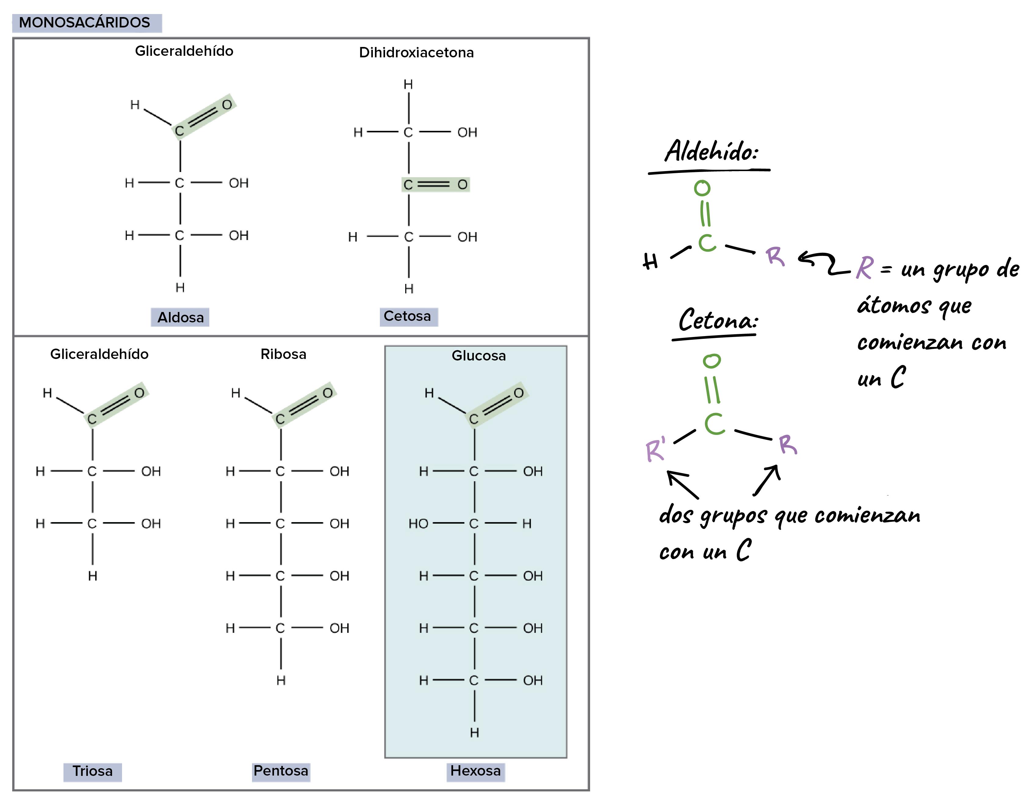 Carbohidratos (artículo) | Macromoléculas | Khan Academy