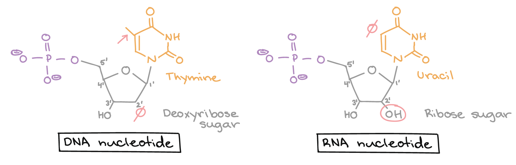 Stages of transcription article khan academy dna nucleotide lacks a hydroxyl group on the 2 carbon of the sugar ie sugar is deoxyribose bears a thymine base that has a methyl group attached to pronofoot35fo Choice Image